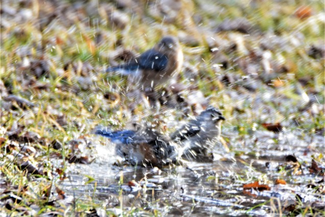 Eastern Bluebirds and Tufted Titmouse in Winter Puddle, Vischer Ferry Preserve, NY - January 27, 2018