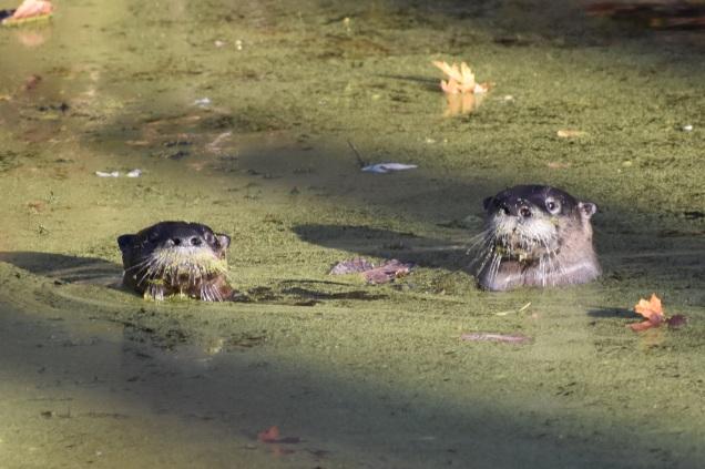 Otter Family, Vischer Ferry Preserve, NY - October 21, 2017