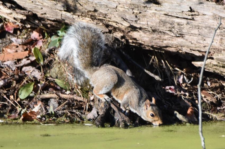 Grey Squirrel, Vischer Ferry Preserve - November 11, 2017