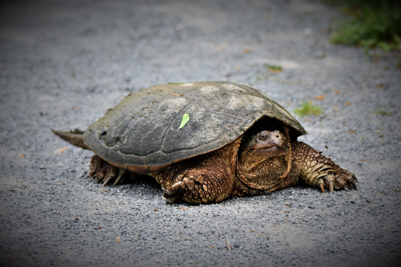 Snapping Turtle at Vischer Ferry Preserve, NY