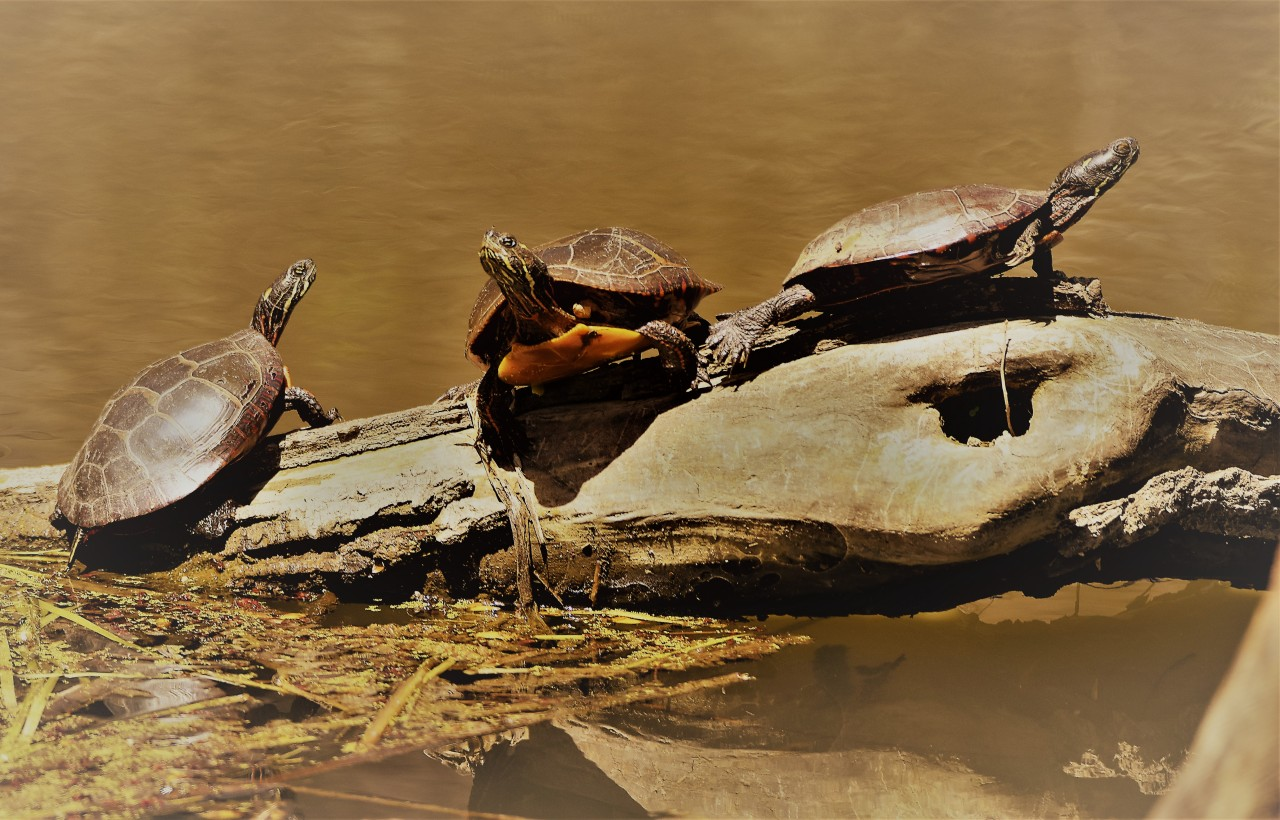 Painted Turtles at Vischer Ferry Preserve, NY
