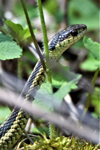 Garter Snake at Vischer Ferry Preserve, NY