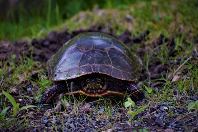 Painted Turtle Laying Eggs at Vischer Ferry Preserve, NY