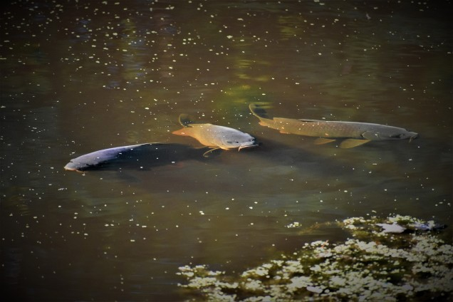 Carp in the Erie Canal at Vischer Ferry Preserve, NY