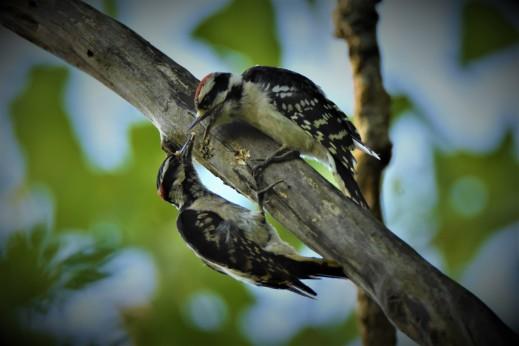 Downey Woodpeckers, Vischer Ferry Preserve, NY - June 30, 2018