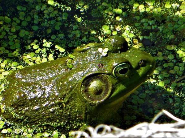 Bullfrog at Vischer Ferry Preserve, NY