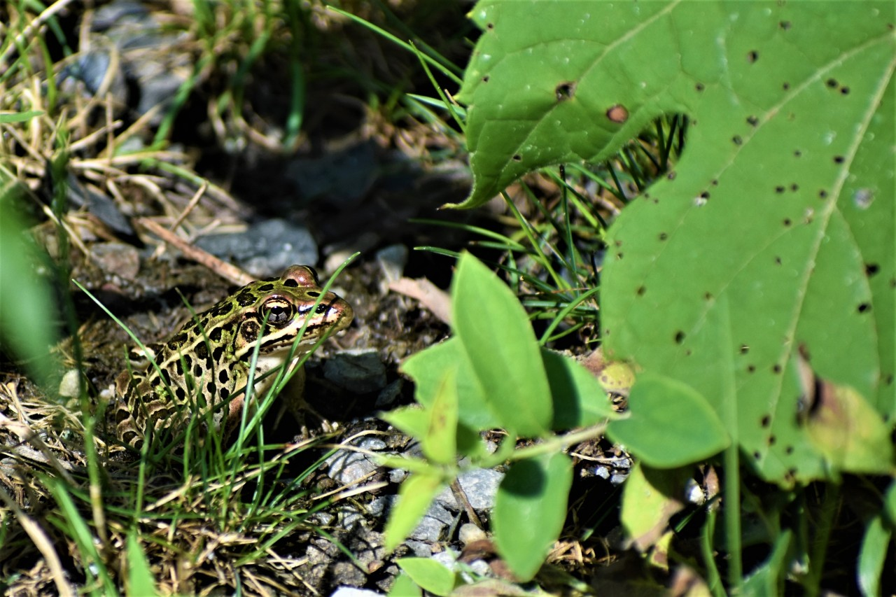 Northern Leopard Frog at Vischer Ferry Preserve, NY