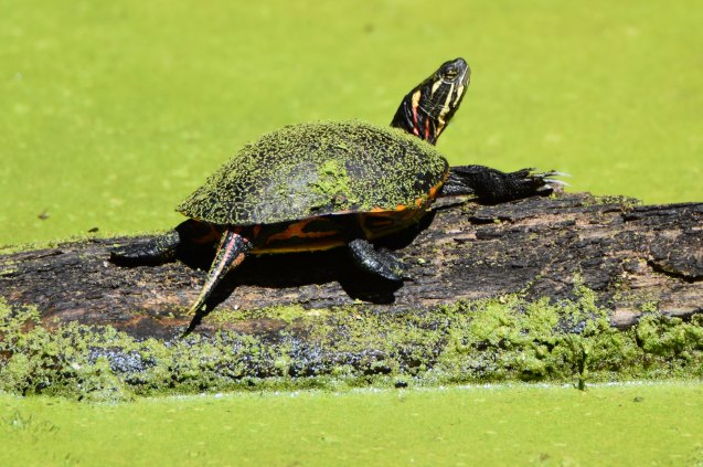 Painted Turtle at Vischer Ferry Preserve, NY