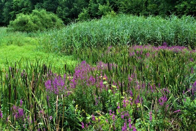 Purple Loostrife and Common Reeds, Vischer Ferry Preserve, NY