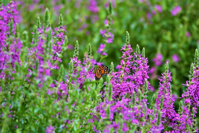 Purple Loostrife and Monarch