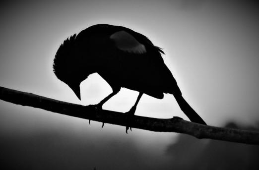 Red-winged Blackbird, Vischer Ferry Preserve, NY - June 8, 2017