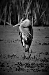Great Blue Heron, Vischer Ferry Preserve, NY