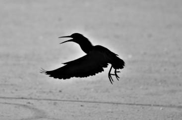 Green Heron, Vischer Ferry Preserve, NY