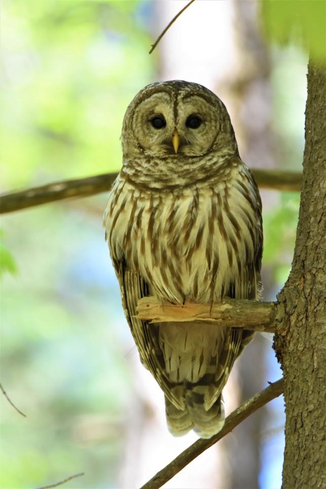 Barred Owl Keeps Close Eye on Us at Kinns Road Park in Clifton Park, NY - May 13, 2018