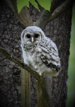 Barred Owl Fledgling, Kinns Road Park, Clifton Park, NY - May 18, 2018