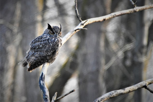 Great Horned Owl, Vischer Ferry Preserve - November 25, 2017