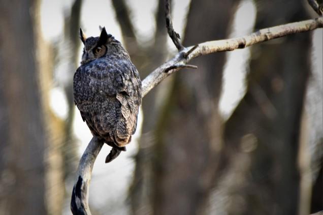 Great Horned Owl, Vischer Ferry Preserve, NY - November 25, 2017