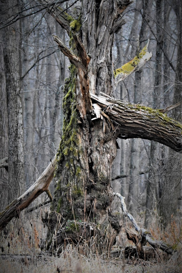 Gnarled Trunk in the Owl Woods, Vischer Ferry Preserve