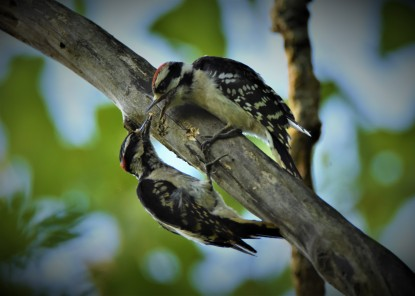 Downy Woodpeckers, Vischer Ferry Preserve, NY - June 30, 2018