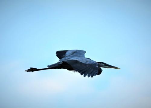 Great Blue Heron, Vischer Ferry Preserve, NY - June 20, 2018