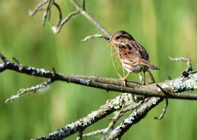 Song Sparrow, Vischer Ferry Preserve, NY - June 9, 2018