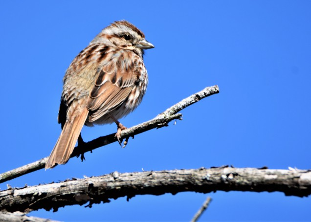 Song Sparrow, Vischer Ferry Preserve, NY - April 21, 2018