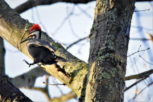 Pileated Woodpecker, Ballston Creek Preserve, Malta, NY - January 5, 2019